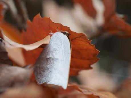 越冬ウラギンシジミ2