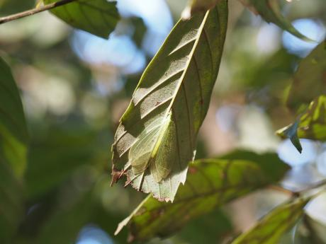 クサカゲロウの一種2