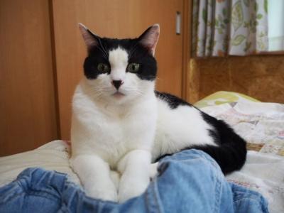 猫 ハチワレ