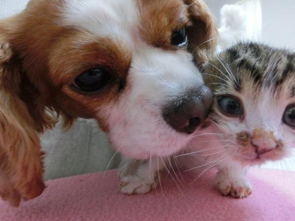 チョコさんお帰り! アポロと子猫 006