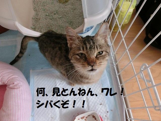 新入り猫ちゃんとアポちゃん耳掃除 013
