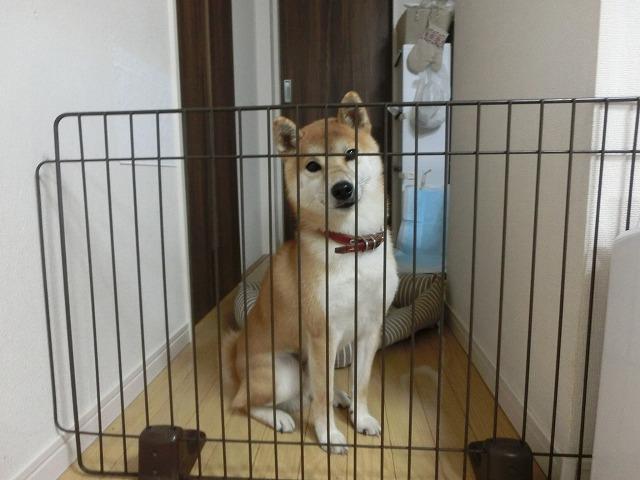 柴犬ムサシ登場!とキジ太郎動画 005