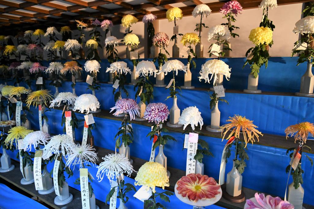 菊祭り 1