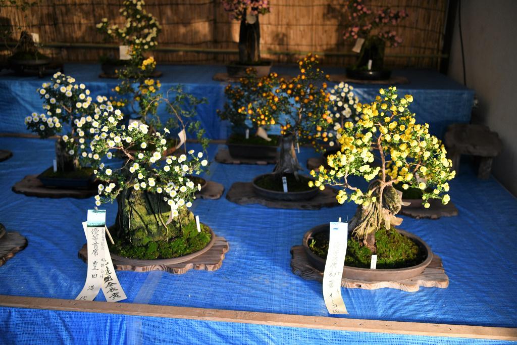 菊祭り 3
