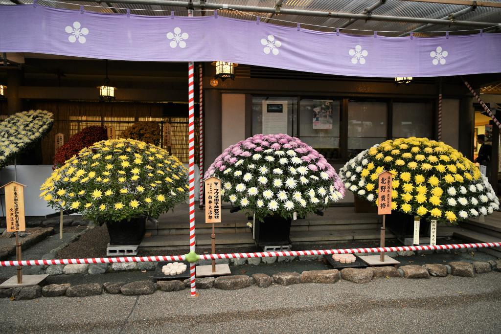 菊祭り 5