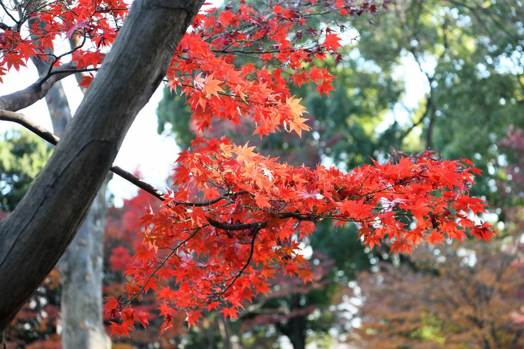 東御苑の紅葉 2