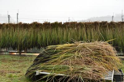 171026稲刈り (6)