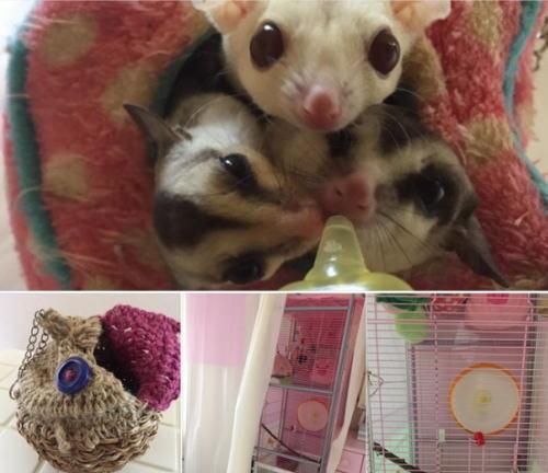 我が家のフクロモモンガ リナちゃん(クリミノ♀) &銀ちゃん(ホワイトフェイス♂) グンちゃん