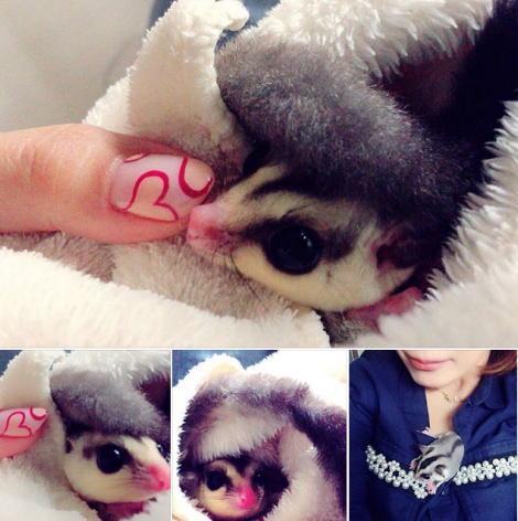 フクロモモンガの赤ちゃん ホワイトフェイス 3か月 グンちゃん