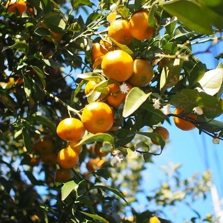 Chinese citron171219