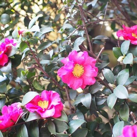 camellia171217.jpg