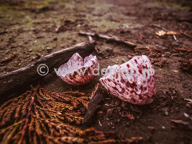 野鳥の卵の殻