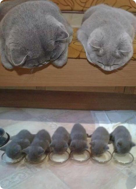 1128six-british-shorthair-kittens-and-parents-r-default