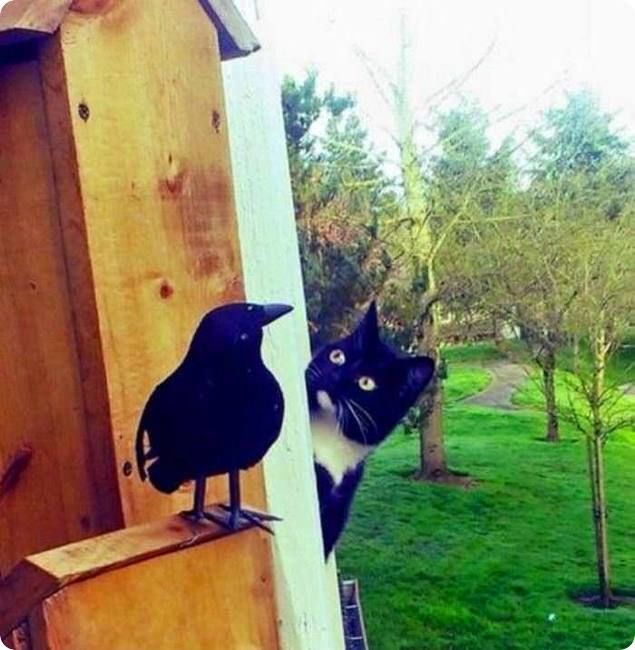 1128interested-black-and-white-cat-look-singing-bird-r-default