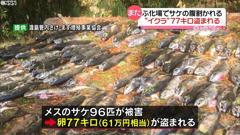 【イクラ盗難】サケの腹割かれ卵77キロが盗まれる3-1