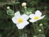 ⅢDhp112秋明菊