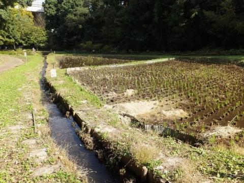 忠生公園の田んぼ
