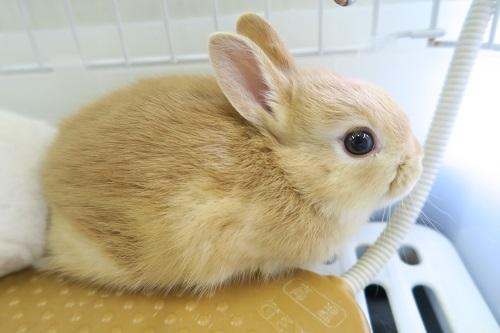 ミニウサギ1127 (1)
