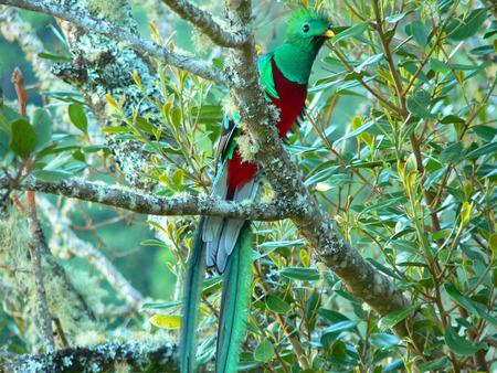 コスタリカの幻の鳥ケツァール