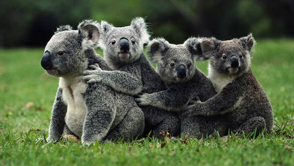フリー写真(抱き合うコアラ)