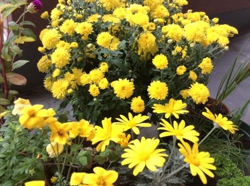 20151030黄色い花の2