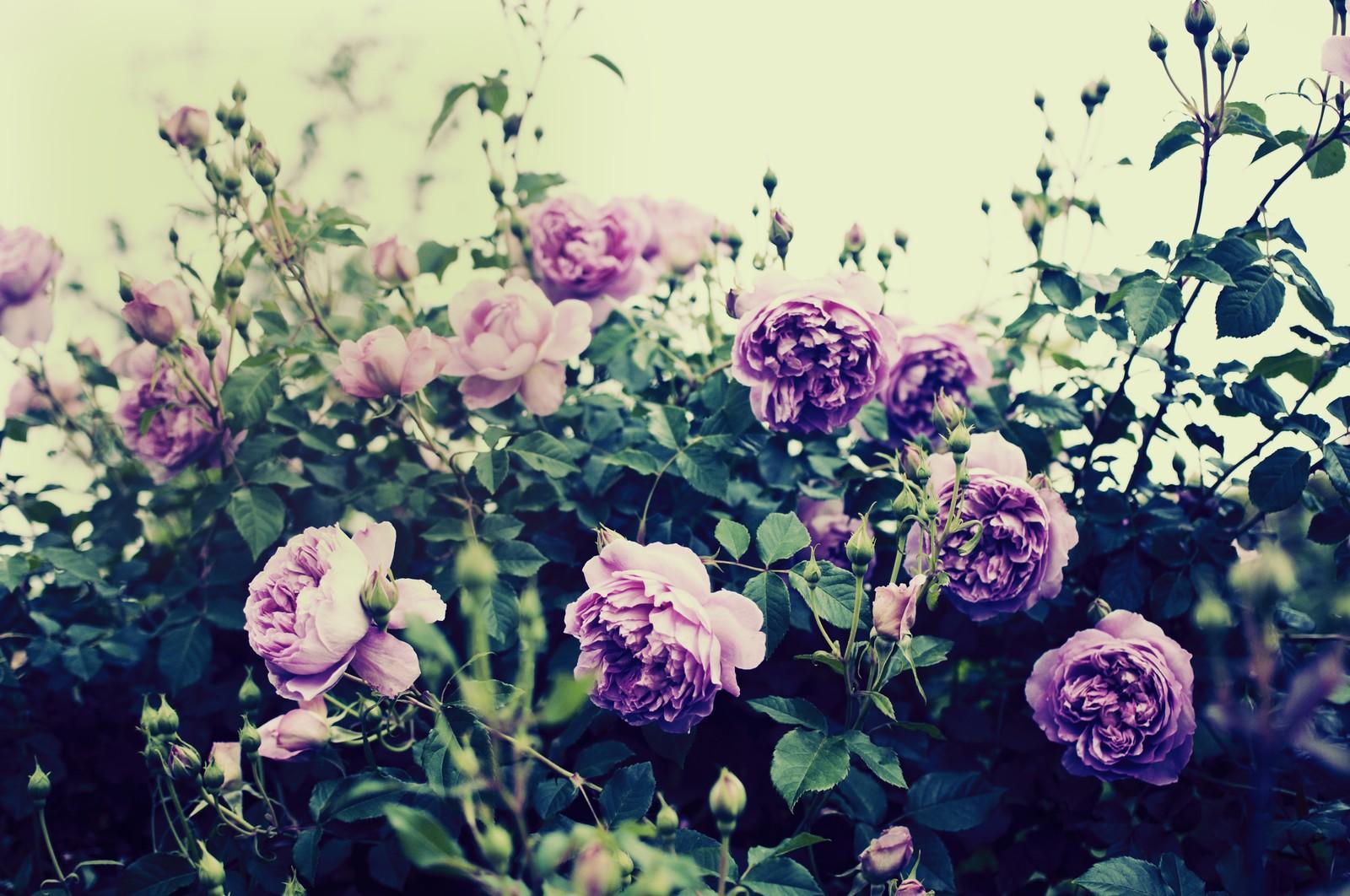 フリー写真 バラ