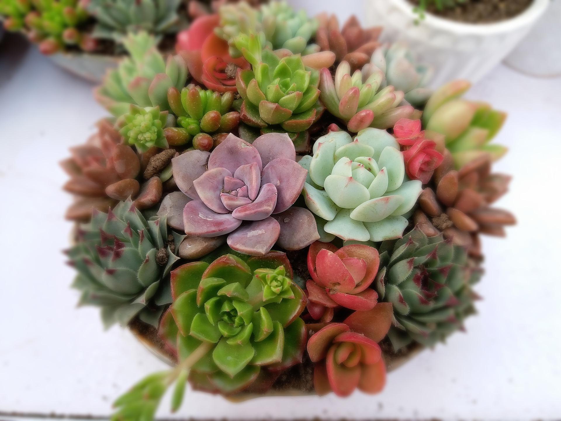 succulent-plants-2045388_1920.jpg