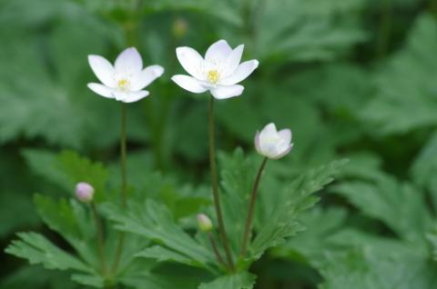 000 ニリンソウ(二輪草、学名 Anemone flaccida)3