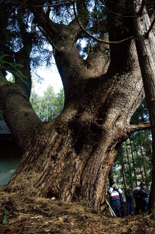 yyy 東北地方の神秘の巨木たち 国内最大級のアカマツ「天狗の松」階上町1