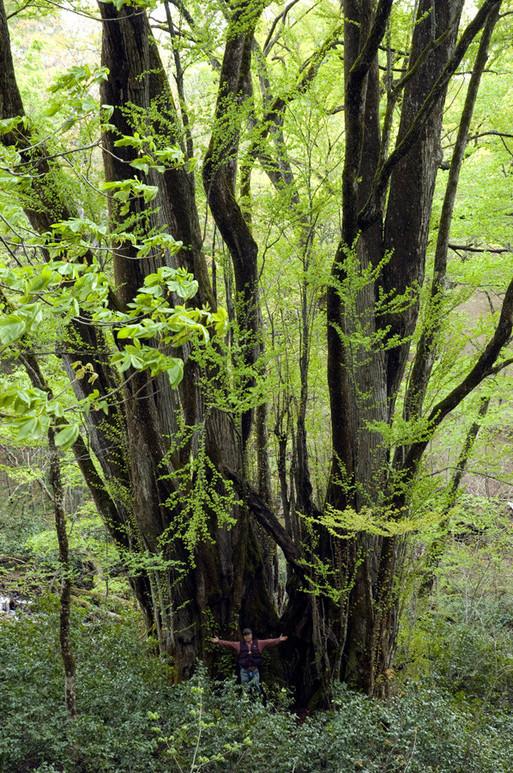 yyy 東北地方の神秘の巨木たち 幹周20m以上ある国内最大のカツラ