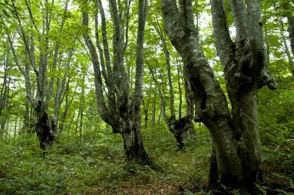 yyy 東北地方の神秘の巨木たち 八甲田・怨念の森