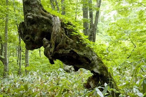 yyy 東北地方の神秘の巨木たち 八甲田・怨念の森 力学的にいえば立っていられない