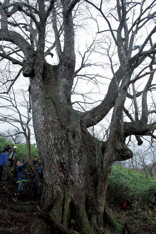 yyy 東北地方の神秘の巨木たち 田子町の四角岳にあるシナノキが、幹周合計が14・44㍍、推定樹齢400年