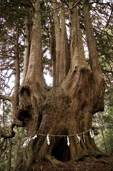 yyy 東北地方の神秘の巨木たち 十二本ヤス(ヒノキアスナロ) 青森県五所川原市