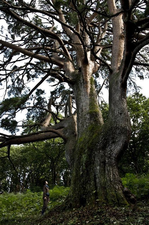 yyy 東北地方の神秘の巨木たち 秋田県最大のアカマツ(大館市)「天空の松」