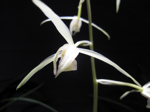 yyys 『豊雪』 空前絶後の名花 3