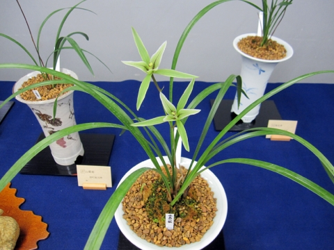 yyys 水晶寒蘭 『水晶六歌』 舌が花弁化した、いわゆる六歌仙タイプの変化花