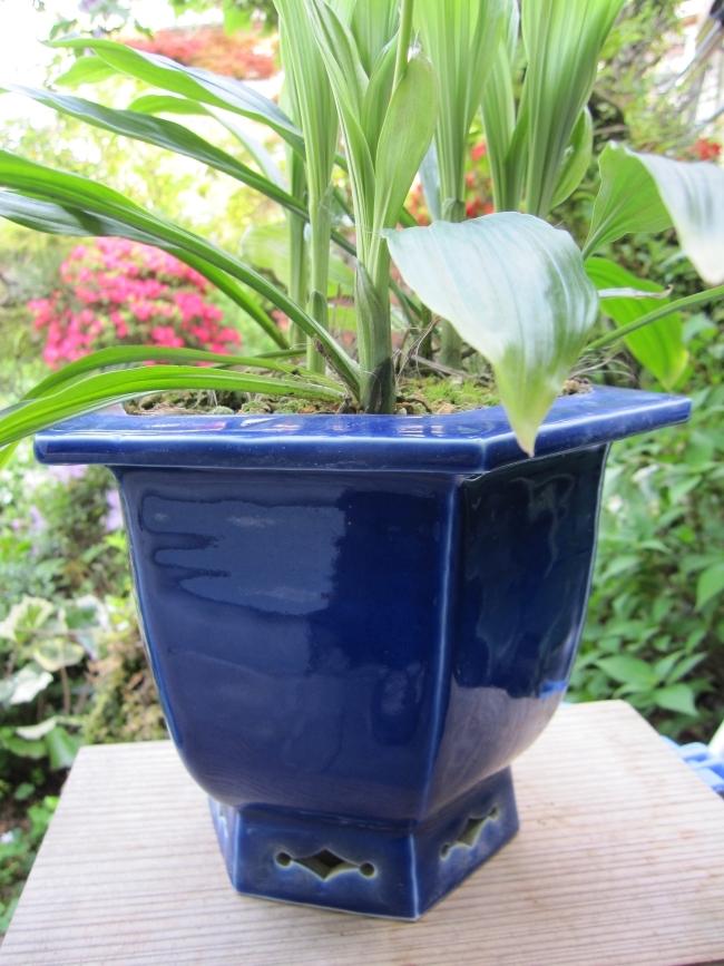 yyys 水晶寒蘭の欅鉢6 庭のえびね&鉢のえびね