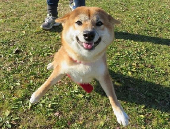 1C01  コロンちゃん 柴犬8か月8㎏ 1212