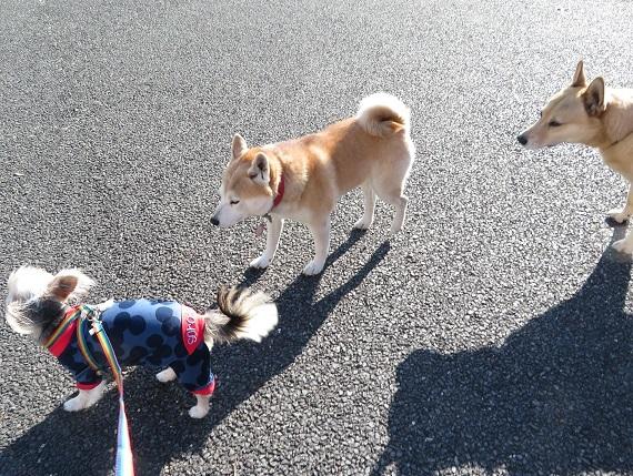 4A06 あやちゃん 福島の被災犬2016.5.27 1207