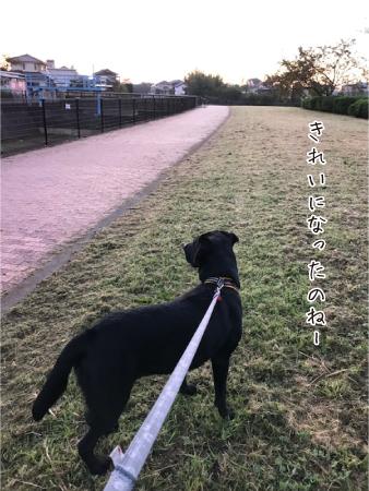 朝散歩とラブラドール04