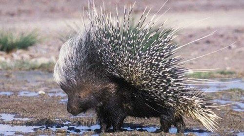 porcupine-500x280ヤマアラシとセックスは禁止