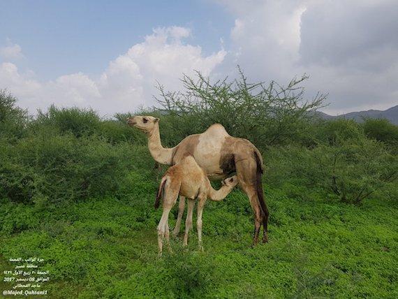 camel-green-1208敏恵の砂漠緑化活動その一
