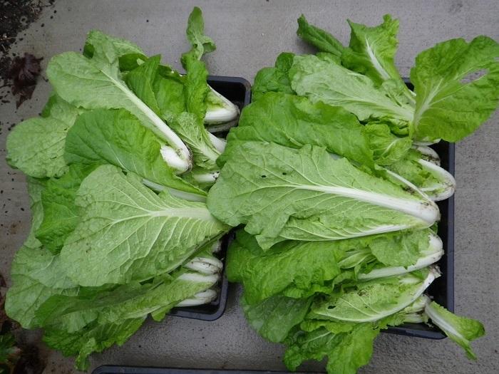 白菜4_17_10_15