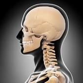 横 頭蓋骨