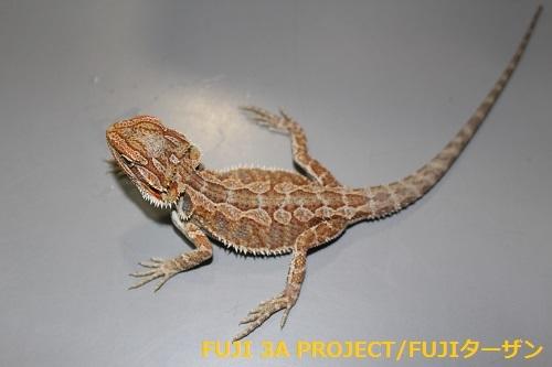 フトアゴヒゲトカゲ レッド