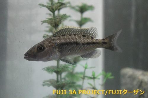 ティラノクロミスマクロストマ♂