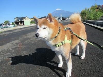 富士山と柴犬