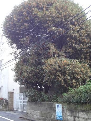 金木犀大木