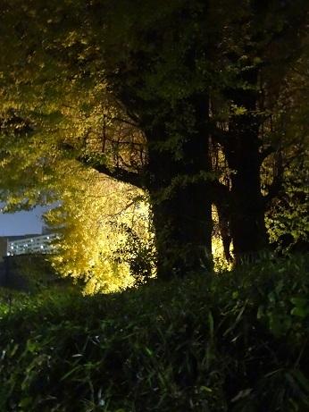 水神社夜銀杏2